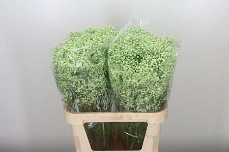 <h4>Gyps Klbh Mint Green</h4>
