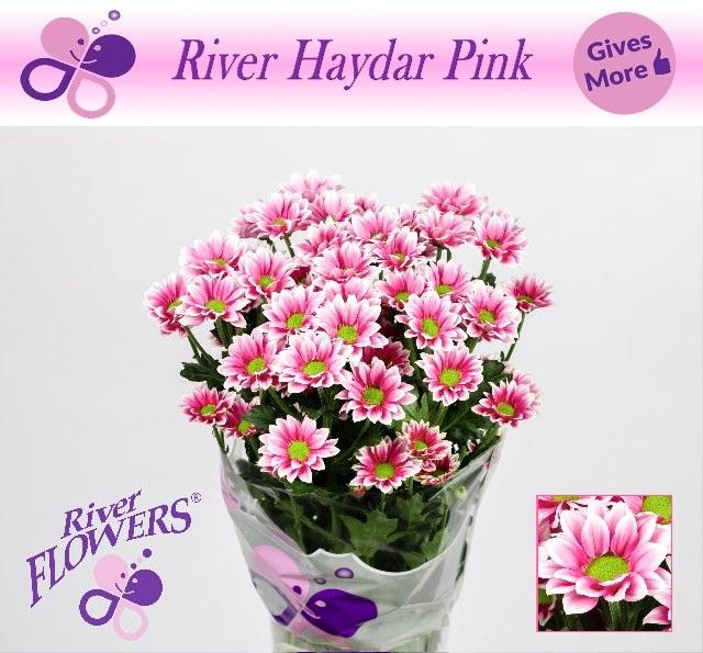 <h4>CHR T HAYDAR PINK</h4>