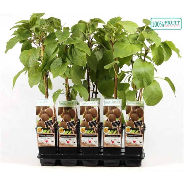 <h4>Actinidia deliciosa golden kiwi - Female - 100%FRUIT</h4>