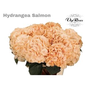 HYDR M SALMON L 70 cm