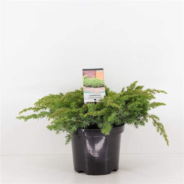 <h4>Juniperus conferta Schlager</h4>