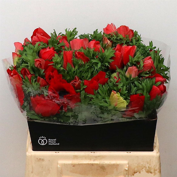 <h4>Anemone cor. 'Mistral Plus Red'</h4>