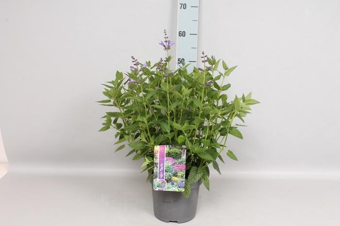 vaste planten 19 cm  Nepeta Blue Dragon