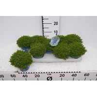 <h4>Hebe Hybrid 'Green Globe'</h4>