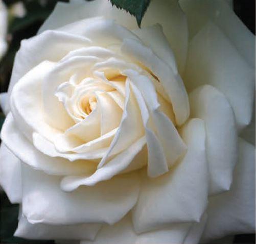 <h4>Rosa White Tinke</h4>