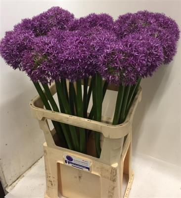 <h4>Allium Grootbloemig 55</h4>