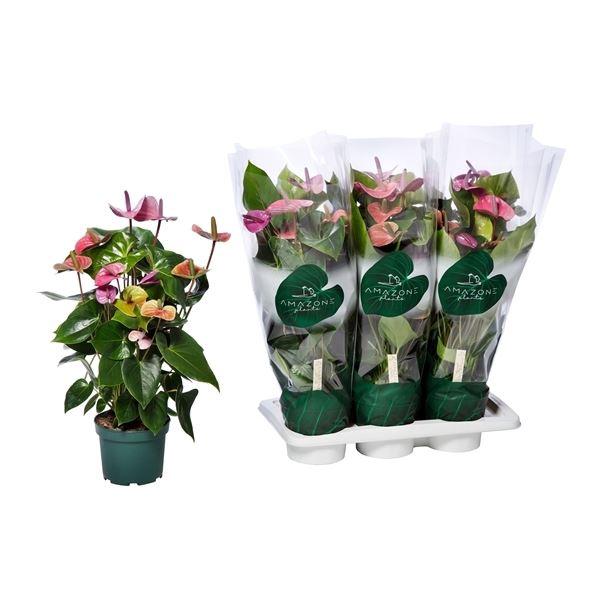 <h4>Anthurium Cavalli</h4>