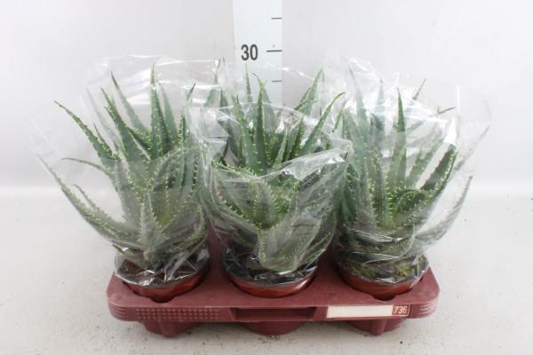 <h4>Aloe arborescens</h4>