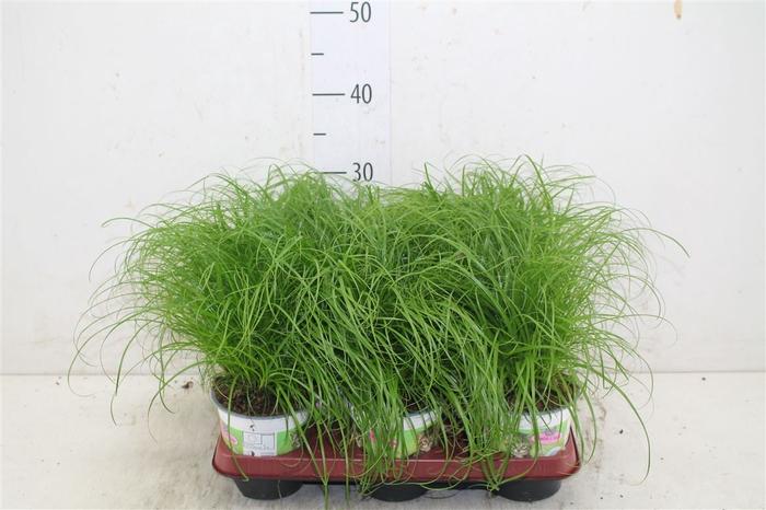 <h4>Cyperus Alt Zumula</h4>