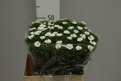 <h4>Dianthus Barbatus Blanco</h4>