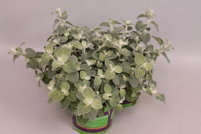 <h4>Helichrysum Lanatum silver Compact</h4>