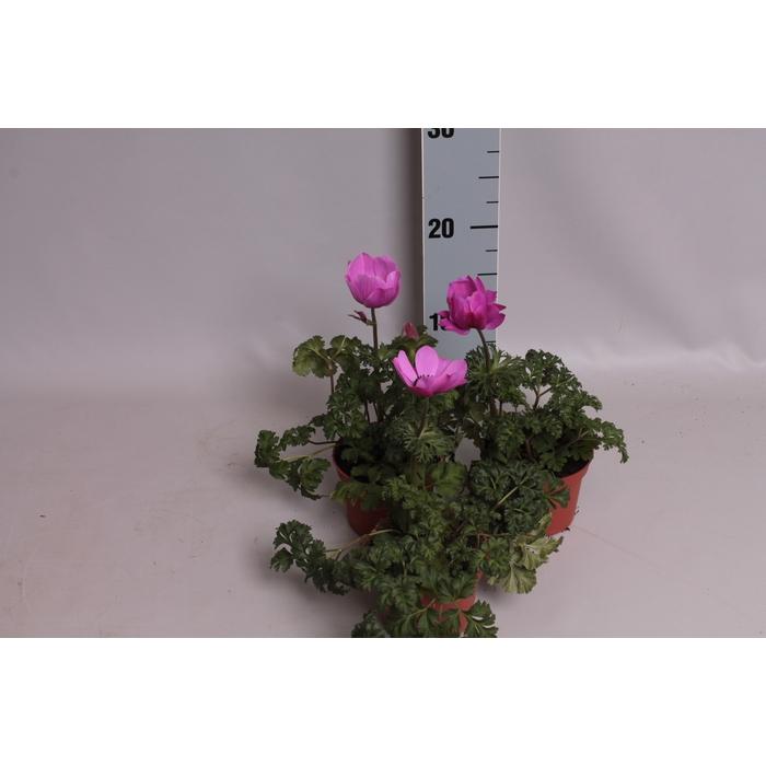 <h4>Anemone Coronaria Animo Pink</h4>