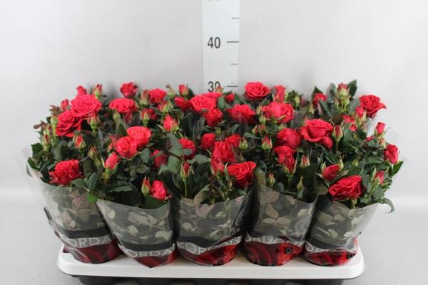 <h4>Rosa  'Red Mercedes Kordana'</h4>