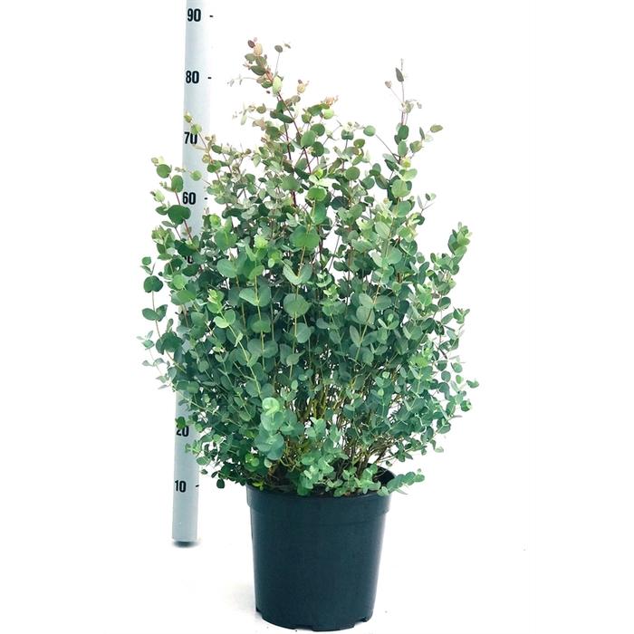 <h4>Eucalyptus gunnii struik</h4>