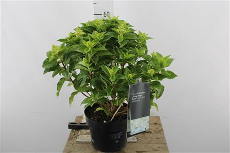 <h4>Hydr Paniculata Sugar 12+</h4>