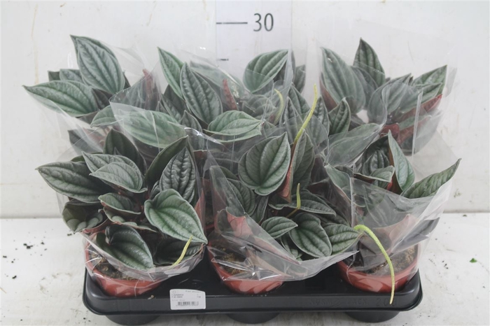 <h4>Peperomia Silver</h4>