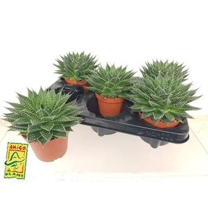 Aloe Aristata Tabo 10,5Ø 15cm