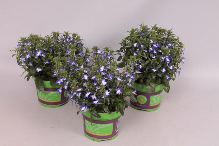 <h4>Lobelia blauw/wit</h4>
