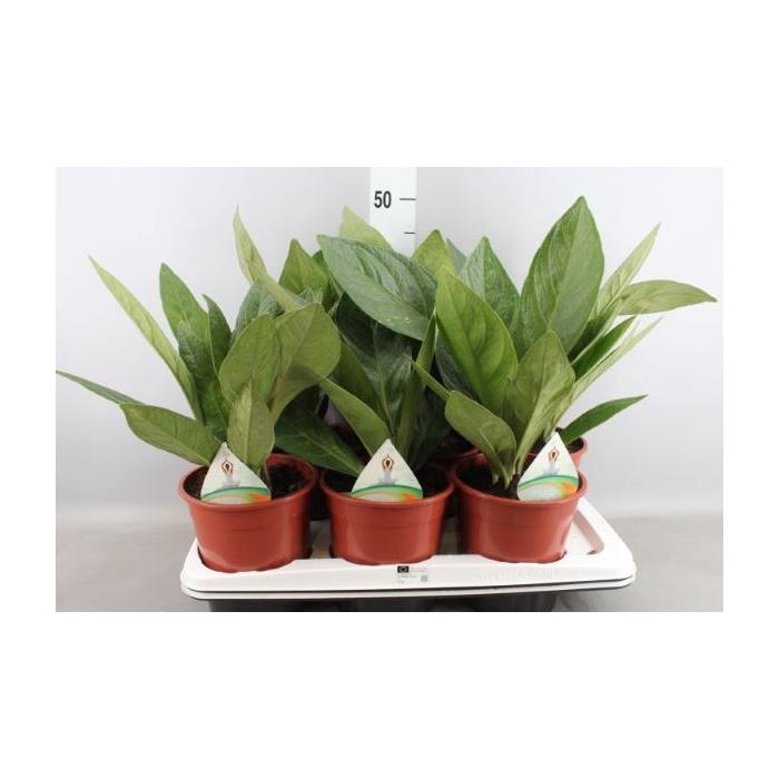 <h4>Anthurium elipticum 'Jungle Bush'</h4>