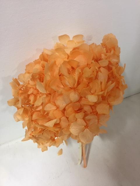 Hydrangea orange past.stabi