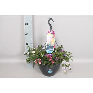 Hangpotten 27 waterreservoir Mix Bacopa, Calibrachoa Indigo, Verbena rose