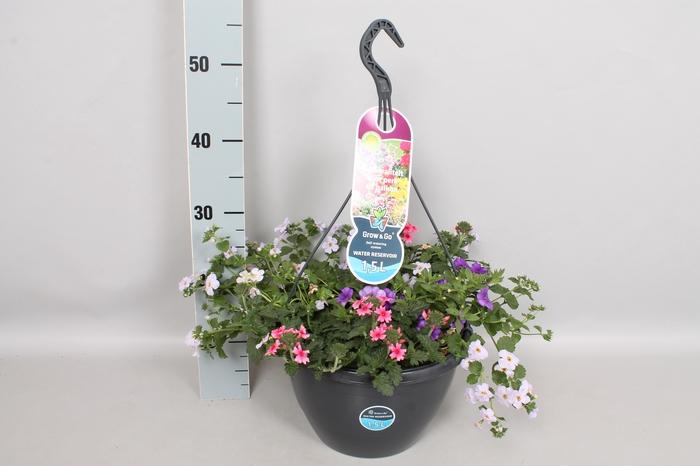 <h4>Hangpotten 27 waterreservoir Mix Bacopa, Calibrachoa Indigo, Verbena rose</h4>