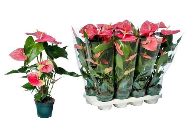 <h4>Anthurium Colorado 14Ø 60cm 5+ kwiatów</h4>