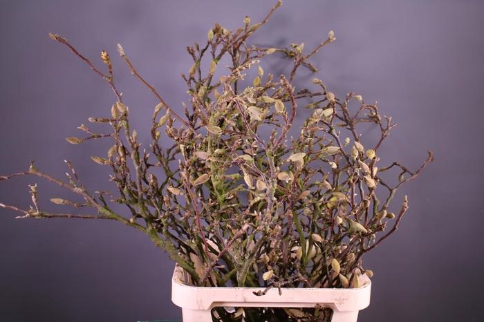 <h4>Magnolia Grillig</h4>