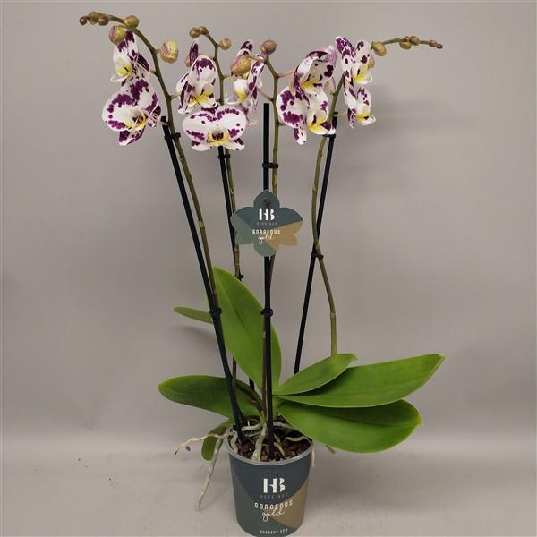 <h4>Phalaenopsis Kiss 4 tak Gorgeous Gold</h4>