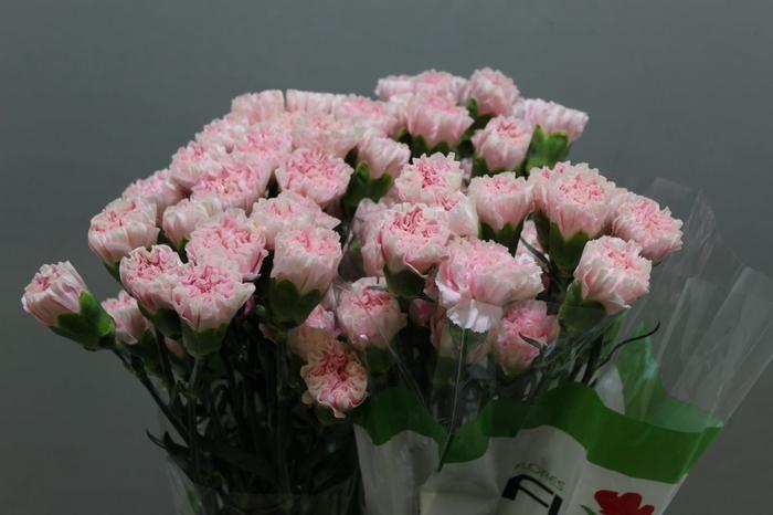 <h4>Dianthus Essiana</h4>