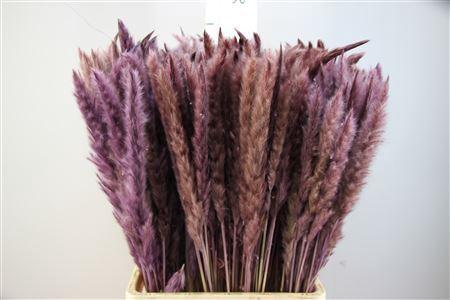 <h4>Pampasgras Dried Fluffy Milka (20pcs)</h4>