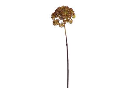 <h4>Eucalyptus seeds branch 70cm</h4>