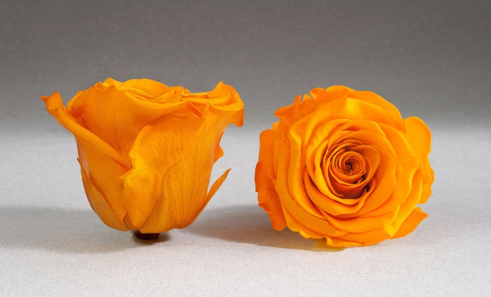 <h4>Rose stab. XL Yel-04</h4>