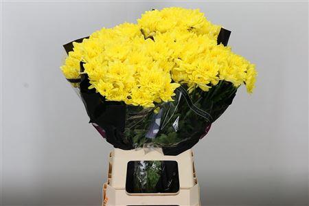 <h4>Chr T Pina Colada Yellow</h4>