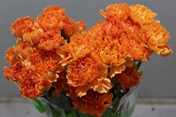 <h4>Dianthus Hermes Orange</h4>