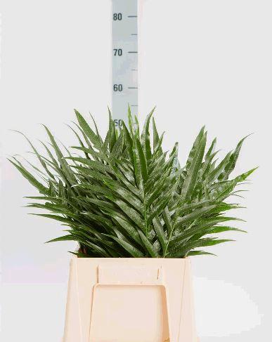 <h4>Aglaomorpha Splendens per stem</h4>