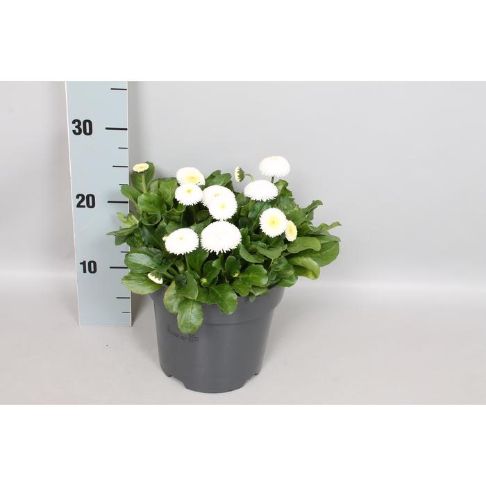 <h4>Bellis perennis 19 cm White</h4>