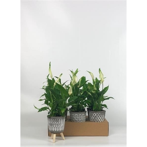 <h4>Spathiphyllum 7cm in Africa mini mix</h4>
