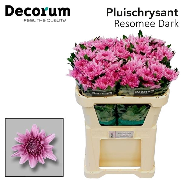 <h4>Chrysanthemum PL 'Resomee Dark'</h4>