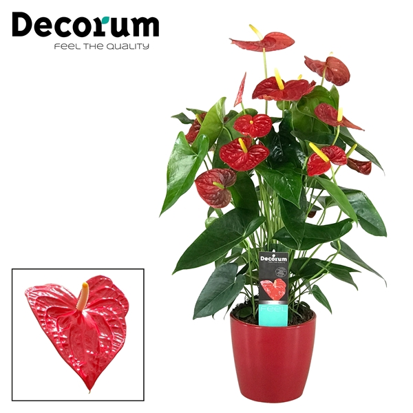<h4>Anthurium Dakota pot 17 keramiek rood</h4>