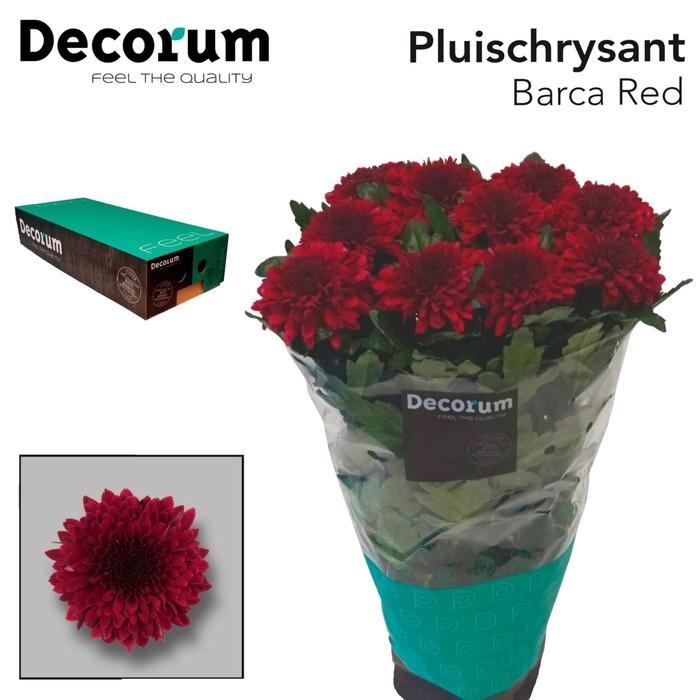 <h4>Chrysanthemum PL 'Barca Red'</h4>