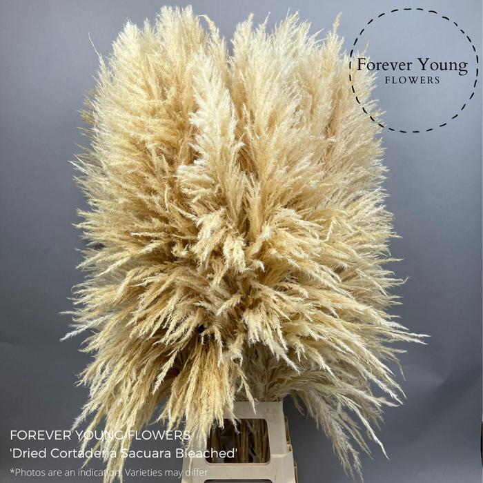<h4>Dried Cortaderia Sacuara Bleached</h4>