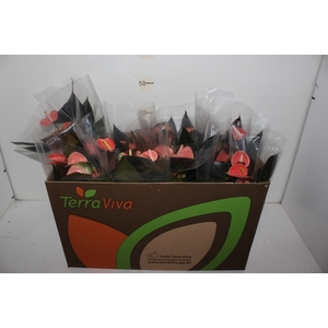ANTHURIUM RAINBOW CHAMPION P15 ROSA