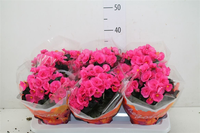 <h4>Begonia Hl Adonia Pink</h4>