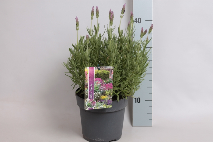 <h4>vaste planten 19 cm  Lavandula Stoechas Purple</h4>