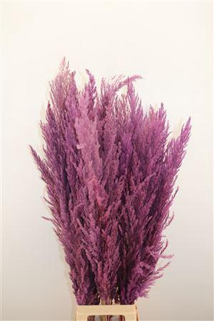 <h4>DRIED PAMPAS GRAS MILKA ( 8 STEM )</h4>