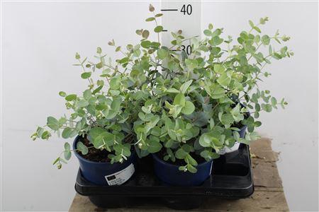 <h4>Eucalyptus Bush</h4>