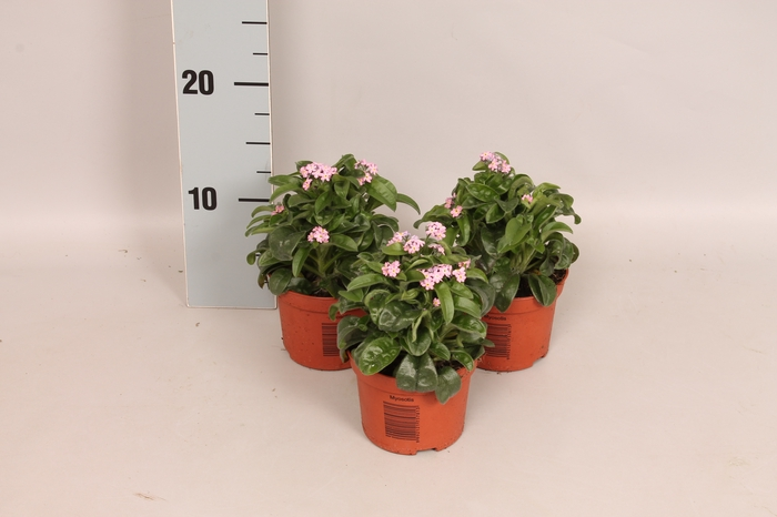 <h4>Myosotis Rose</h4>