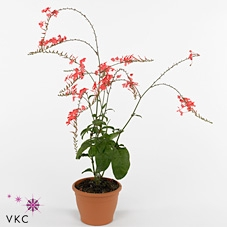 <h4>Nerium oleander Struik</h4>