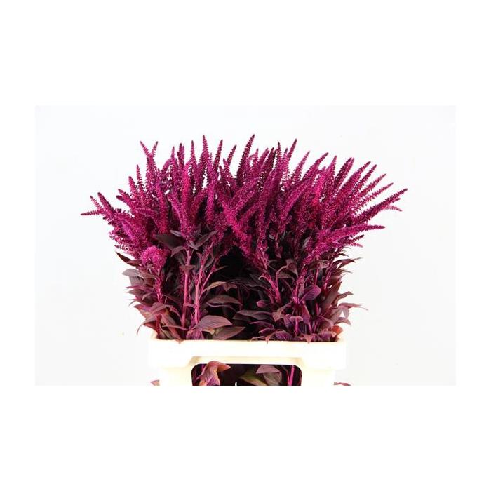<h4>Amaranthus Cruentus Velvet</h4>